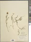 view Astragalus dasyglottis DC. digital asset number 1