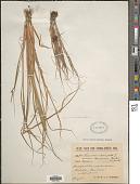 view Echinochloa crus-galli (L.) P. Beauv. digital asset number 1