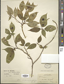 view Helwingia chinensis digital asset number 1