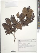 view Cordiera humilis var. amplexicaulis (S. Moore) C.H. Perss. & Delprete digital asset number 1