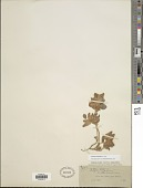 view Tripodion tetraphyllum (L.) Fourr. digital asset number 1