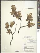 view Gnidia daphnifolia L. f. digital asset number 1
