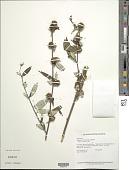 view Rolandra fruticosa (L.) Kuntze digital asset number 1