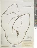view Chaetocalyx brasiliensis (Vogel) Benth. digital asset number 1