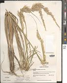 view Pappophorum pappiferum (Lam.) Kuntze digital asset number 1