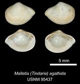 view Malletia (Tindaria) agathida digital asset number 1