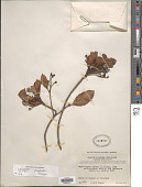 view Rhaphiolepis indica (L.) Lindl. digital asset number 1