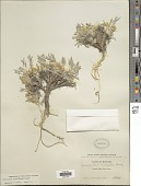 view Astragalus gilviflorus E. Sheld. digital asset number 1