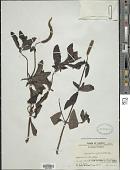 view Pogostemon auricularius (L.) Hassk. digital asset number 1