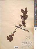 view Pyracantha crenulata digital asset number 1