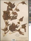 view Malachra fasciata Jacq. digital asset number 1