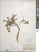 view Montiopsis andicola (Gillies ex Hook. & Arn.) D.I. Ford digital asset number 1
