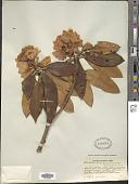 view Rhododendron traillianum Forrest & W.W. Sm. digital asset number 1