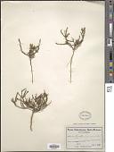 view Muraltia longicuspis Turcz. digital asset number 1