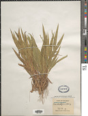 view Dichanthelium xanthophysum (A. Gray) Freckmann digital asset number 1