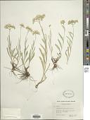 view Antennaria luzuloides Torr. & A. Gray digital asset number 1