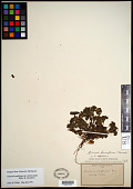 view Claytonia perfoliata subsp. intermontana Mill. & Chambers digital asset number 1