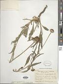 view Echinacea angustifolia DC. digital asset number 1