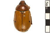 view Grapevine Beetle digital asset number 1
