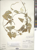 view Cynanchum tunicatum (Retz.) Alston digital asset number 1