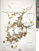 view Sarcostemma elegans Decne. digital asset number 1