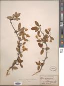 view Malus angustifolia (Aiton) Michx. digital asset number 1
