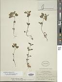 view Scutellaria tuberosa Benth. digital asset number 1
