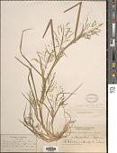 view Panicum dichotomiflorum Michx. digital asset number 1