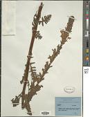 view Pedicularis hoffmeisteri Klotzsch digital asset number 1