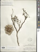 view Pterocarpus angolensis DC. digital asset number 1