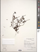 view Peperomia ocumarana Trel. & Yunck. digital asset number 1
