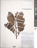 view Osteophloeum platyspermum (A. DC.) Warb. digital asset number 1