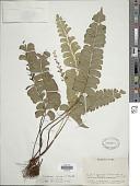 view Lindsaea lancea var. lancea (L.) Bedd. digital asset number 1