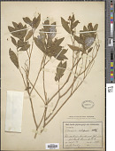 view Monnina xalapensis Kunth digital asset number 1