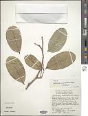 view Xylocarpus moluccensis digital asset number 1