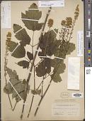 view Actaea racemosa L. digital asset number 1
