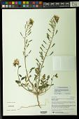 view Chylismia claviformis subsp. peirsonii (Munz) W.L. Wagner & Hoch digital asset number 1