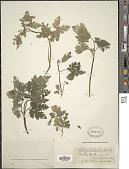 view Torilis japonica (Houtt.) DC. digital asset number 1
