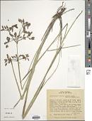 view Rhynchospora robusta (Kunth) Boeckeler digital asset number 1