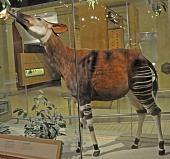 view Okapia johnstoni digital asset number 1