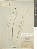 view Hesperantha petitiana (A. Rich.) Baker digital asset number 1
