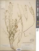 view Descurainia pinnata subsp. filipes (A. Gray) Detling digital asset number 1