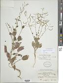 view Chylismia walkeri A. Nelson subsp. walkeri digital asset number 1