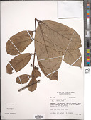 view Siparuna guianensis Aubl. digital asset number 1