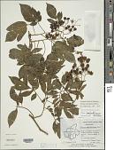 view Solanum seaforthianum Andrews digital asset number 1