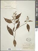 view Leandra caquetensis Gleason digital asset number 1