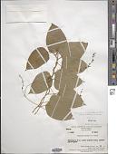view Tinospora glabra (Burm. f.) Merr. digital asset number 1