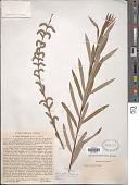 view Salix koriyanagi Kimura digital asset number 1