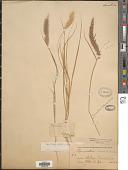 view Cenchrus ciliaris L. digital asset number 1