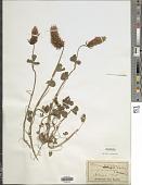 view Trifolium incarnatum L. digital asset number 1